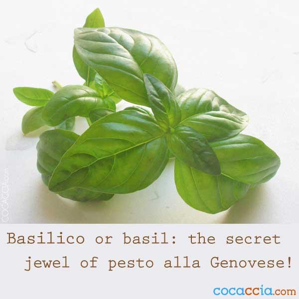 Basil for Pesto Sauce